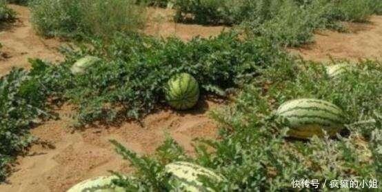 為什麼沙漠中遍地的西瓜沒有人摘知道原因后,再口渴我也不吃